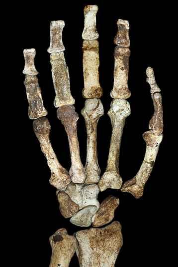Hand and Forearm Australopithecus Sediba