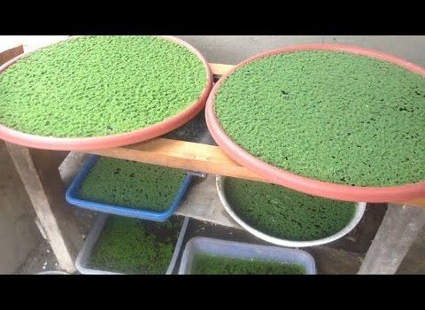 Blue-green Algae Bio-fertilizers Market